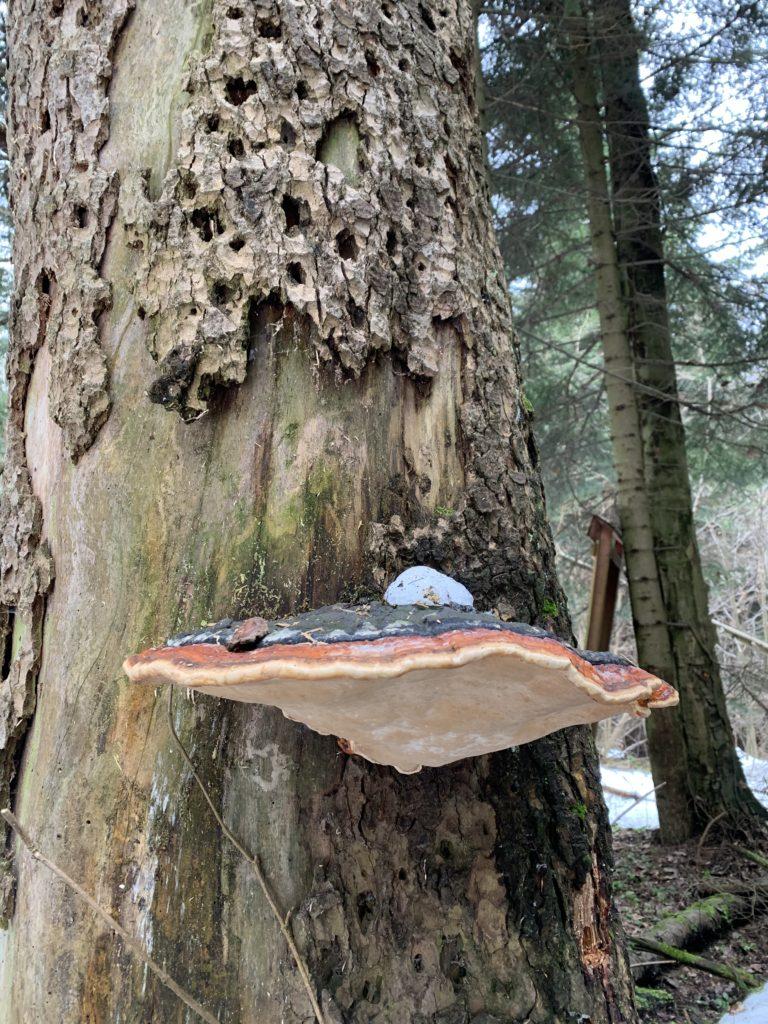 Kopaniny - Symbioza, pasożytnictwo i inne kwitną w lesie