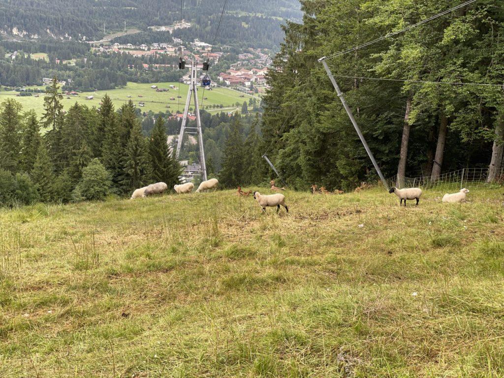Alpspitze - Główne podejście mało uczęszczane przez ludzi, ale nie przez owce